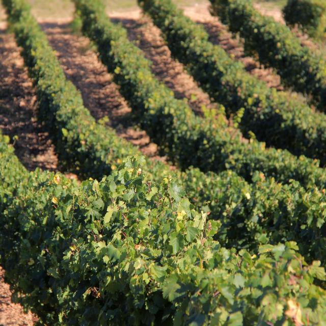 Vignes Terroir Domaine La Michelle Auriol Oti Aubagne